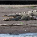 Das Krokodil ist wirklich groß