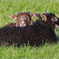 Kopfkissen aus Schafwolle