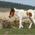 Junges Pferd/Pony