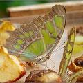 Schmetterling beim Mahl
