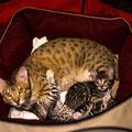 саванны F3C(savannah F3C) - 1,5 года с котятами - саваннами F4