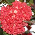 Blüte des Baumes Dombeya Cacuminum aus Madagaskar
