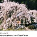 境内にある樹齢約100年の枝垂桜。温暖の地には珍しい大木となり、近年では見事な花を毎年咲かせています。
