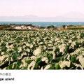 相模湾と一面のキャベツ畑。遠くには富士山が見られ大変すばらしい景色です。