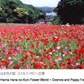 5月のポピー、9月のコスモス。久里浜は開国の町だけではなく、花の国でも有名になりました。