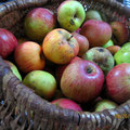 Récolte de pommes à La Rousselie