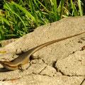 A lizard enjoying the sun