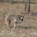 Safari in Mikumi National Park