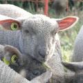 bronzage des agneaux élevés au biberon