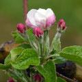 Apfelblüte - Natur