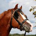 RossFoto Dana Krimmling Pferdefotografie Wanderreiten Freiberger Pferde  Freiberger Deckhengst