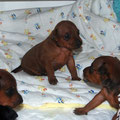 D-litter 3 Wochen alt