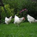 """Sussex-Hühner """"Marie, Bleckedie und Josefine"""""""