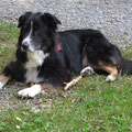 Paco (2005 - 2014, Australian Shepherd)