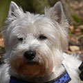 Cador (geb. 2003, West Highland White Terrier)