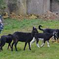 Chèvres locales