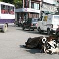 die heiligen Kühe im Strassenverkehr
