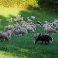 Transumance en Pays d'Olmes (Ariege)