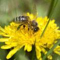 Biene auf Löwenzahn (C: Prantner Norbert)