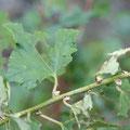 ウスゲタマブキのムカゴと葉