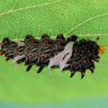 ジャコウアゲハの終齢幼虫