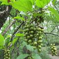キブシの果実