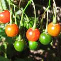 マルバノホロシの果実(拡大)