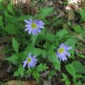 カントウヨメナ(薄紫色)