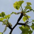 イチョウの雄花