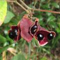トキリマメの種子