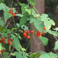 ヒヨドリジョウゴの果実