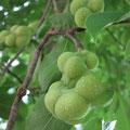 コブシの若い果実