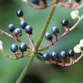 ヤブミョウガの果実