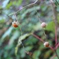 ヤマホオズキの果実