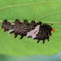 オオバウマノスズクサ(ジャコウアゲハの幼虫)