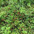 ナワシロイチゴの果実