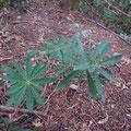 オニシバリの樹木
