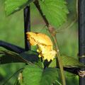 お菊虫(ジャコウアゲハの蛹)