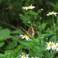 サカハチチョウ(夏型・裏面)とカントウヨメナ