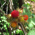 エビガライチゴの果実