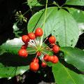 トチバニンジンの果実