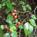 ヤマテリハノイバラの果実