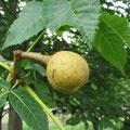 ベニバナトチノキの果実