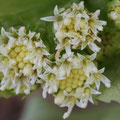フキの雄花(両性花:5枚の花弁あり)