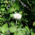 ノハラアザミ(白花)