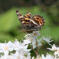 サカハチチョウ(春型)とウツギ