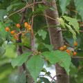 イヌザクラの果実