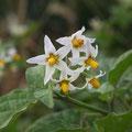 アメリカイヌホオズキ(白花)
