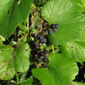 ヤマブドウの果実