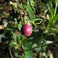 ツルギキョウの果実
